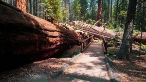 giant sequoia down