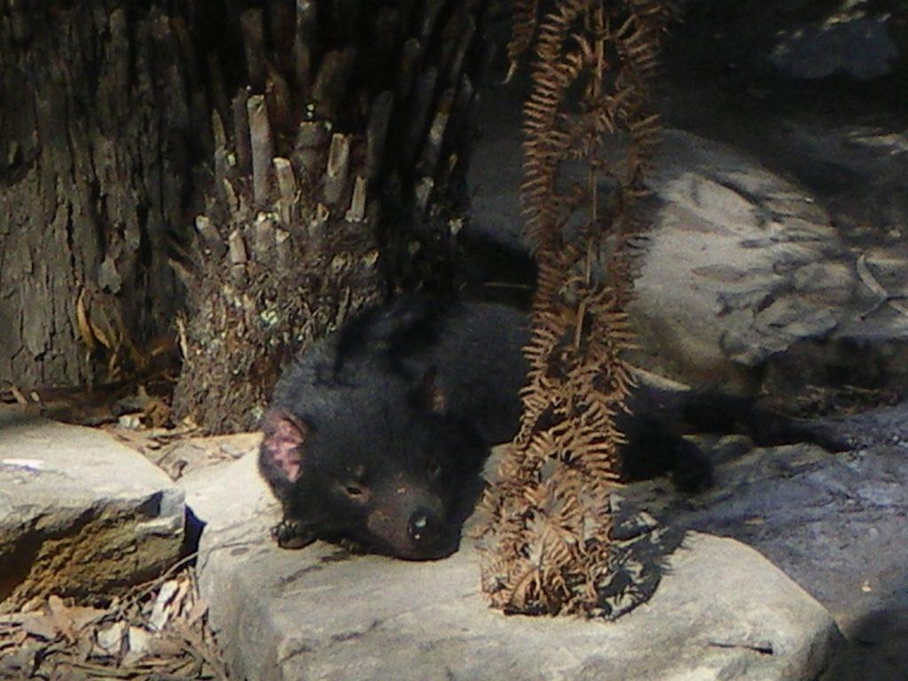 Studying abroad Tasmanian Devil