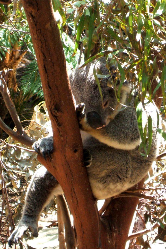 Studying abroad Koala