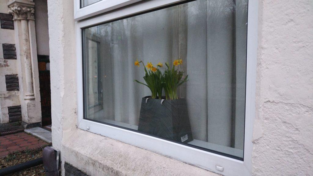 Cardiff daffodils