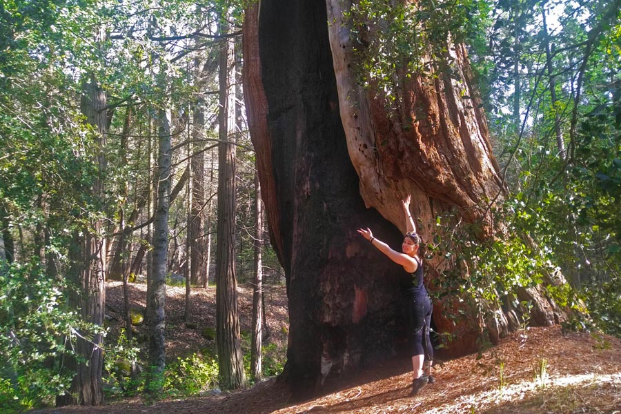 Giant Sequoia at Belknap campground