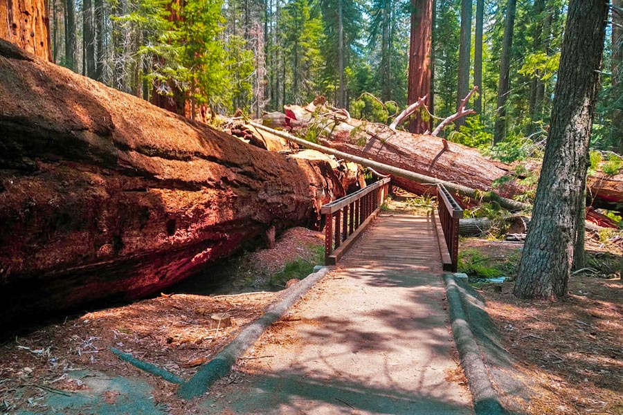 fallen giant Sequoia