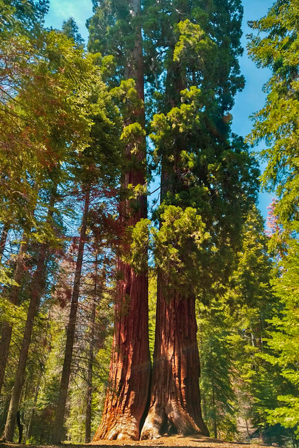 fused giant Sequois
