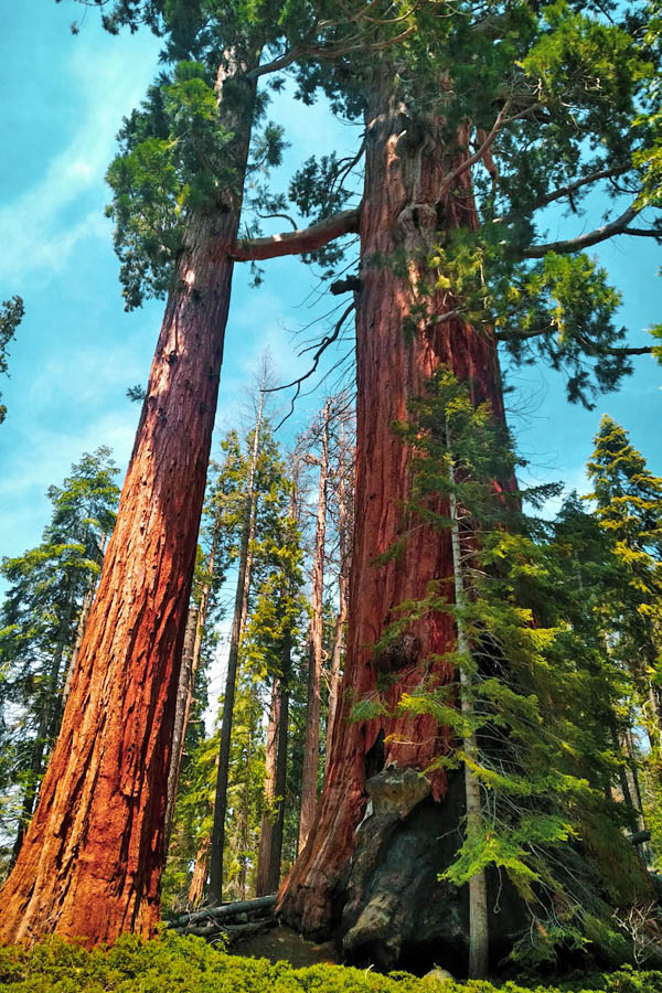 Giant sequoias with regular pine tree in front